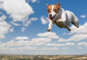 Flying Texas Dog